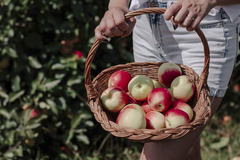 Close-up of mid adult woman holding apples in wicker basket while standing at orchard - OGF00584