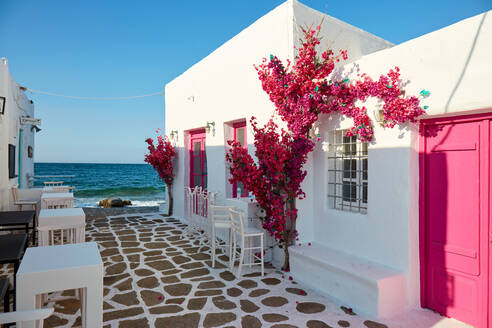 Naoussa, waterfront pink bougainvillea in bloom, Paros, Cyclades Islands, Greek Islands, Greece, Europe - RHPLF17601