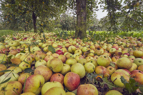 Fallen cider apples ready for harvest in September, Somerset, England, United Kingdom, Europe - RHPLF17700