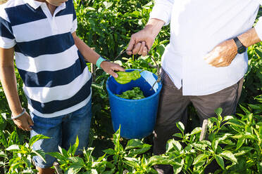 Grandfather with grandson picking peppers in vegetable garden - JCMF01492