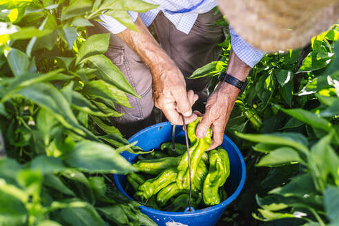 Senior man collecting peppers in bucket while standing at vegetable garden - JCMF01495