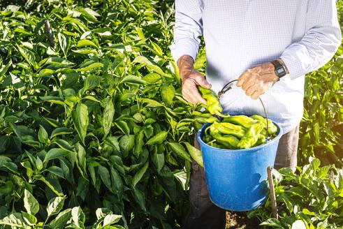 Senior man holding bucket while picking peppers in vegetable garden - JCMF01498