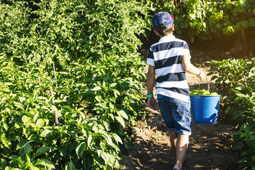 Boy carrying bucket with peppers while walking amidst plants in vegetable garden - JCMF01501
