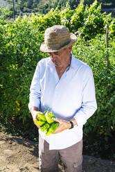 Senior man wearing hat holding peppers while standing in vegetable garden - JCMF01510