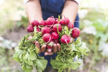 Hands of woman harvesting fresh radishes at vegetable garden - FMOF01187