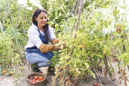 Happy woman harvesting fresh organic tomatoes from vegetable garden - FMOF01193