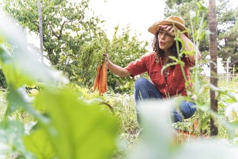 Beautiful woman wiping sweat while harvesting organic carrots at vegetable garden - FMOF01202