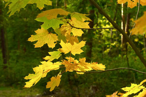 Yellow maple leaves in autumn - JTF01662