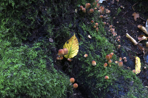 Small mushrooms growing on mossy forest floor - JTF01692