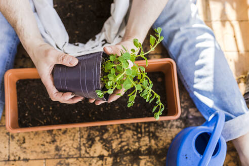 Mid-adult man planting oregano in a pot in the balcony - FLMF00332