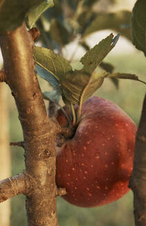 Ripe apple growing outdoors - BZF00595