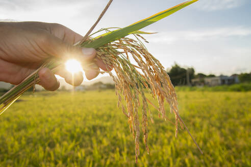 Beautiful sunset in a rice field ,hand holding rice ears or plant close up in a rice field with sun flare and blurred background - CAVF90541