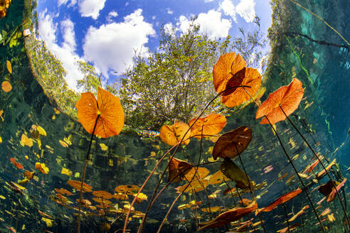 Lilies floating over water against sky in Cenote Aktun Ha, Quintana Roo, Mexico - YRF00232
