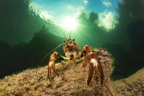 Underwater portrait of signal crayfish (Pacifastacus leniusculus) - YRF00261