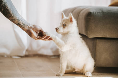 Puppy giving pay in owner hand while sitting at home - MIMFF00397