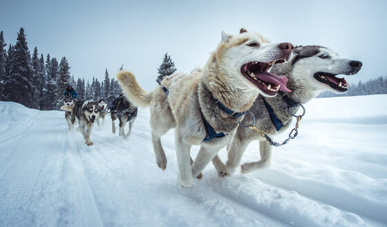 Wide-angle shot of sled-dogs running on snowy trail - CAVF91747