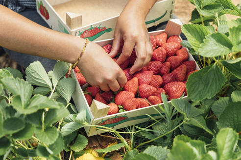 Hands of farmer placing fresh strawberries in wooden box on plant at farm - JRVF00190