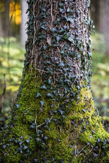 Tree trunk covered with ivy leaf and moss in forest - MAMF01599