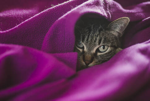 Cat covered in purple blanket resting at home - RAEF02438