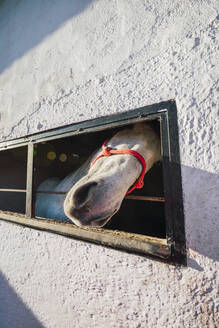 Horse peeking out of window while standing in stable - RSGF00508