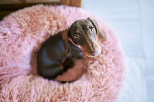 Dachshund dog sitting on pet bed at home - KIJF03614