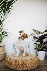 Cute dog staring while sitting on ottoman stool in living room at home - EBBF02527