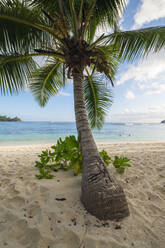 Palm tree growing on Baie Lazare beach in summer - RUEF03209