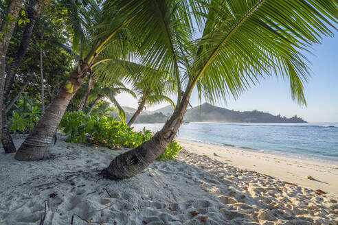 Palm trees growing on Baie Lazare beach in summer - RUEF03212